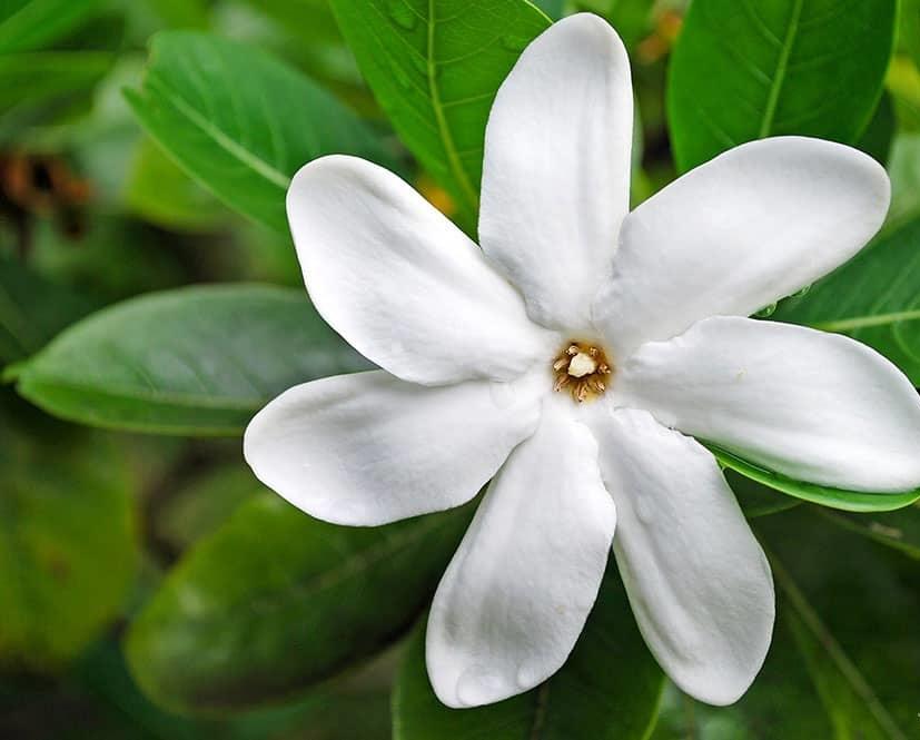 Une fleur de Tiaré